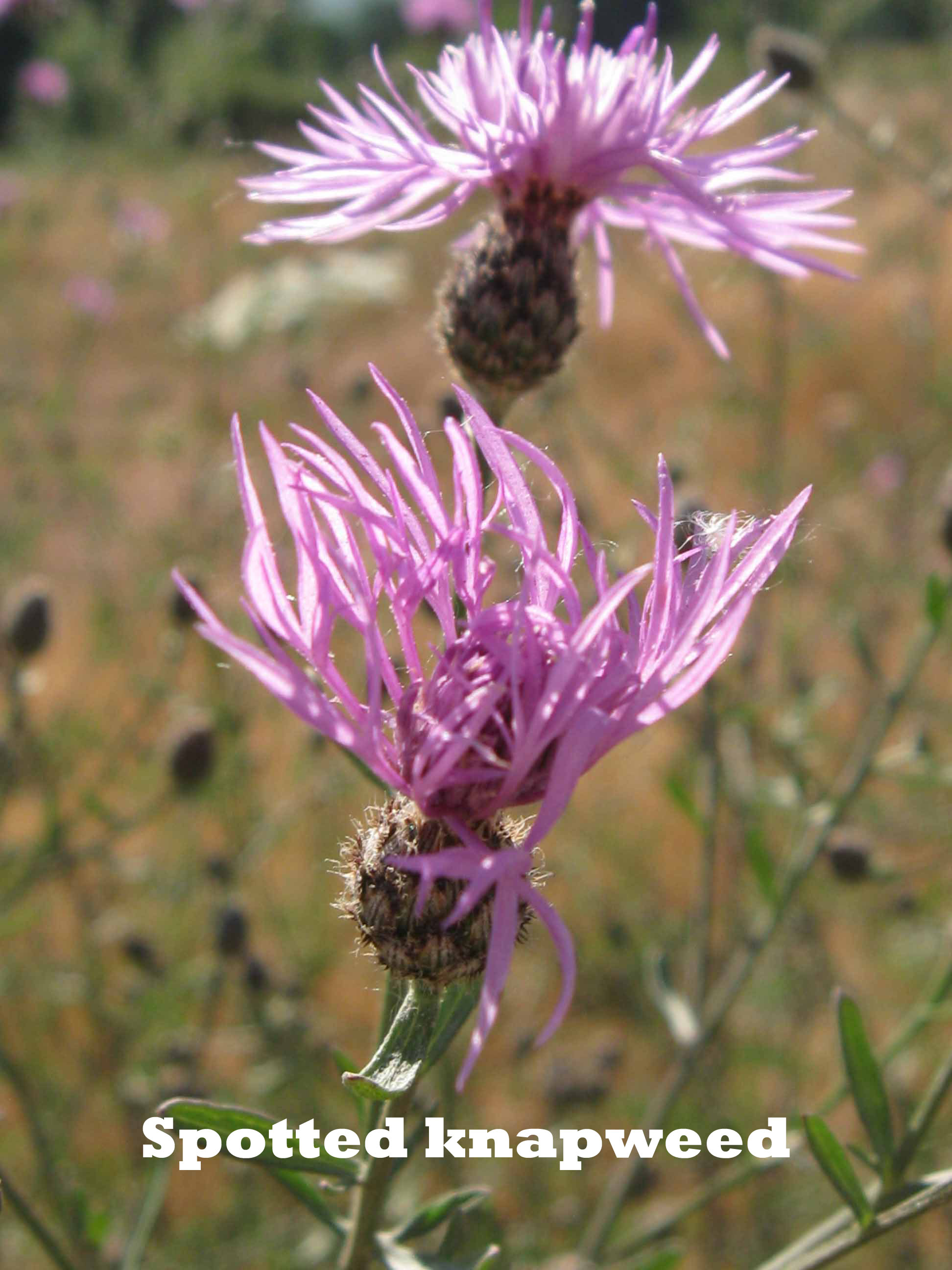 Spotted knapweed image