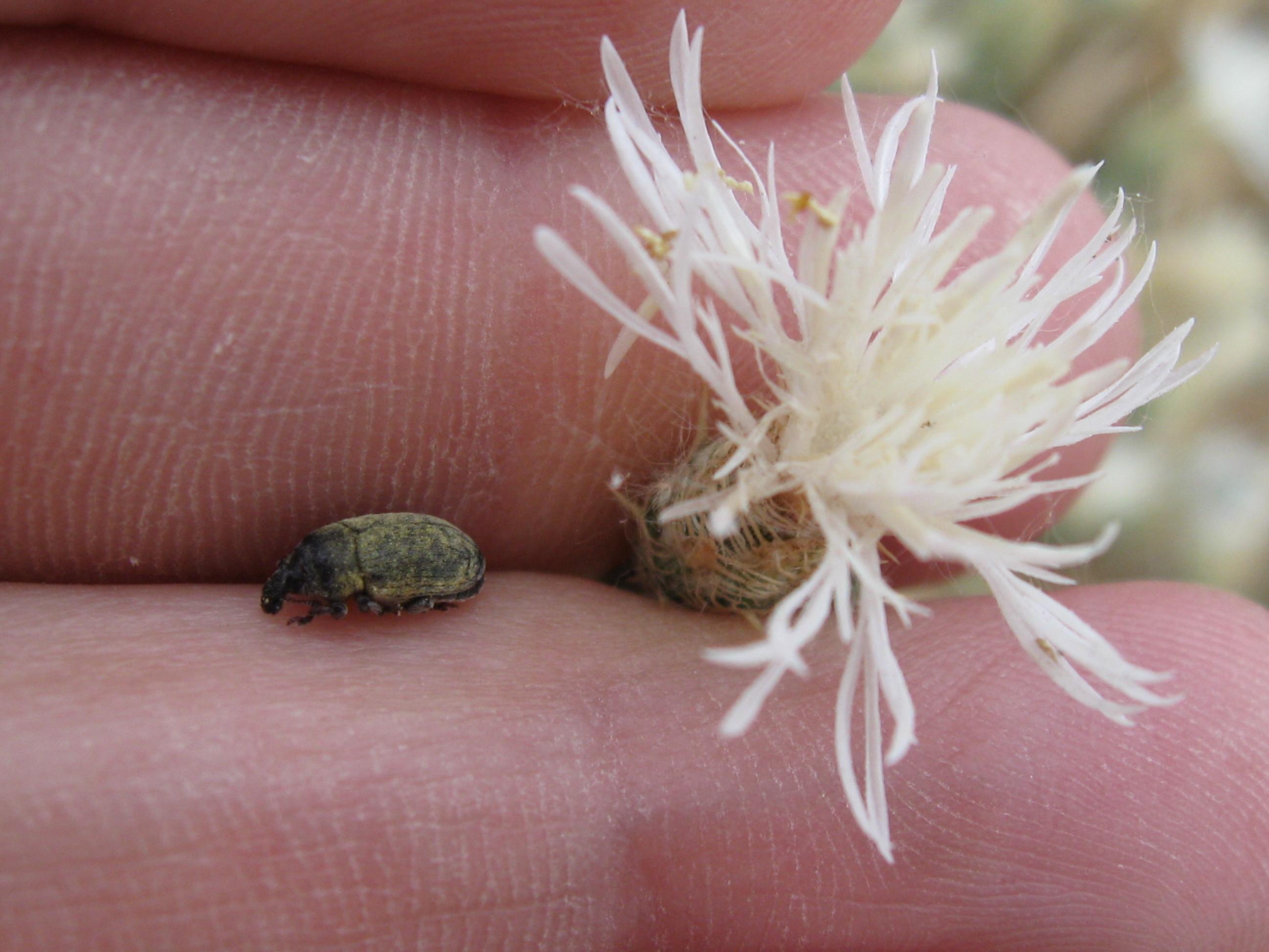 Diffuse knapweed beetle