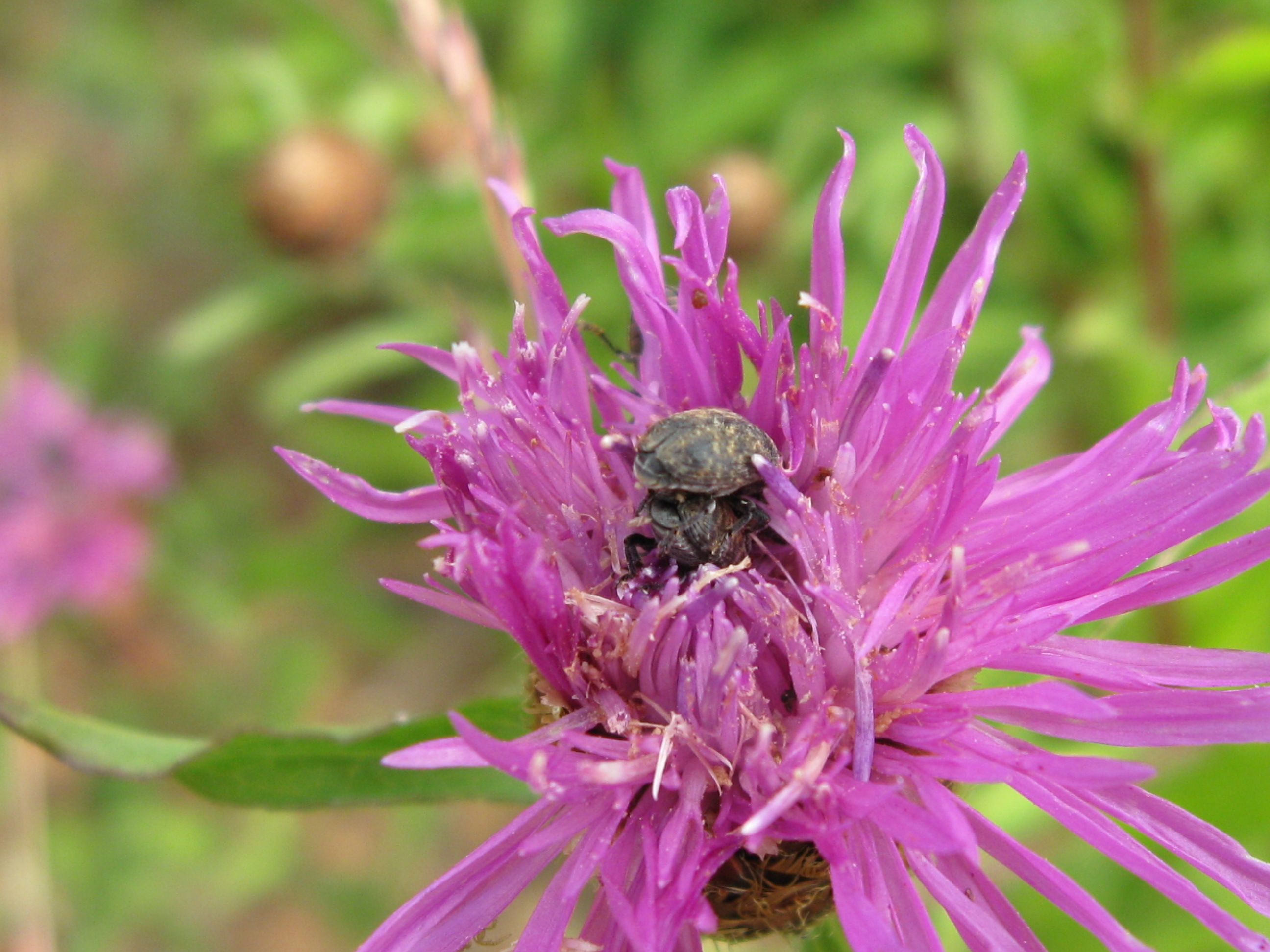 Meadow knapweed insects